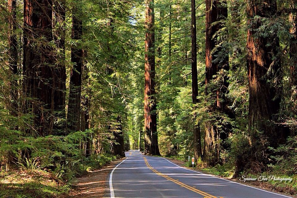 Avenue of the Giants   Sparrow Tree Photography